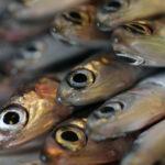 Armadores piden el cierre de la pesca de verdel por las ventas ilegales