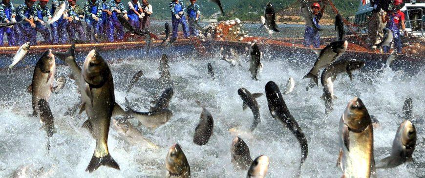 Investigadores estudian la respuesta inmunológica de los peces ante las infecciones virales