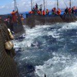 Profundas divisiones con los criterios de reparto del atún rojo