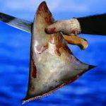 Tailandia es el mayor exportador de aletas de tiburón