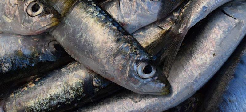 Cierre de la pesca de sardina 2018