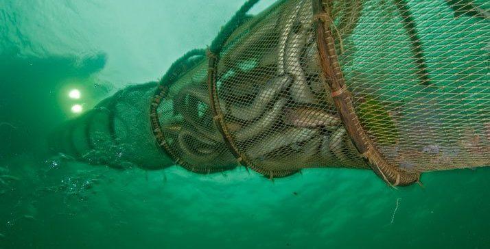 Francia subvenciona el cese de la flota de anguila