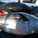Científicos detectan los hábitos del atún rojo gigante
