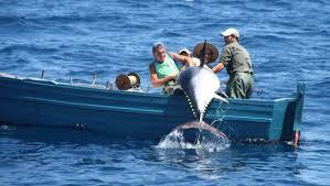 Rotundo éxito de la recuperación del atún rojo que exige incrementar las cuotas