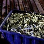 EL Ministerio limitará la captura de sardina a partir de enero