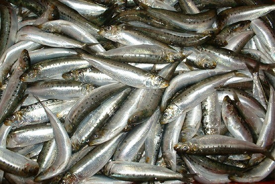 pesca de sardina
