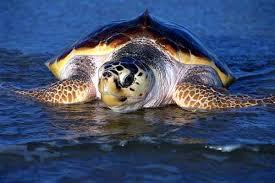 tortuga de Canarias