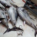 La importación de atún y asociados aumentó en valor un 27% en la UE