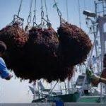 Barcos francesas inician la captura de algas rojas para  hacer agar-agar