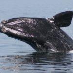 La ballena del Atlántico Norte no termina por recuperarse