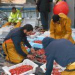 Los pescadores de  Baleares consiguen buenas capturas de gamba roja