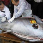 El atún es la especie más apreciada del mundo