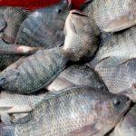 La carpa, la panga y la talipia serán el 60% de la acuicultura mundial