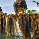 El cultivo de algas, con grandes posibilidades de negocio en Europa
