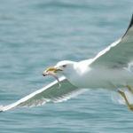 Más de un 10 % de las aves marinas muertas tienen plásticos en el estómago