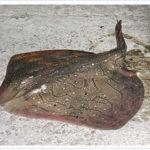 La Secretaria de Pesca confirma la regulación de la raya