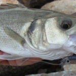 La justicia europea avala las restricciones a la pesca recreativa de la lubina