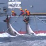 Tres balleneros japoneses pescan 333 ballenas en el Antártico