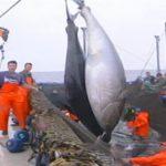 El Grupo Balfegó inicia la pesca de cuota de 1.872 toneladas de atún rojo