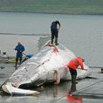 Islandia reanuda la caza de cetáceos