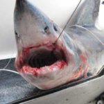 La UICN considera al marrajo sardinero en peligro de extinción
