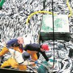 Casi la mitad de la cuota permitida de anchoveta se ha capturado en Perú