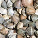 Prohibida la pesca de chirla en el litoral mediterráneo de Andalucía