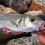 Pescadores galos molestos con las peticiones de los recreativos de una cuota de lubina