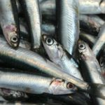 El mal tiempo condiciona la campaña de anchoa y las capturas de caballa del cerco