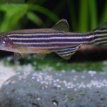 AZTI pionero en la utilización del pez cebra para estudiar los ingredientes alimentarios