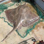 Mejora la población de raya pero no se recomienda incrementar las cuotas de pesca
