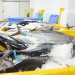 La flota de bajura agota la cuota de atún rojo y ahora tendrá que pescar sardina