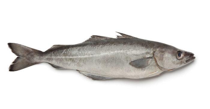 Noruega introduce el consumo de fogonero, una especie de bacalao