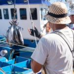 La pesca de atún por cuotas eleva su precio y alarga la campaña en Canarias