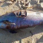 El programa Obsenmer quiere mejorar la lucha contra los varamientos de delfines en el Golfo de Vizcaya