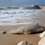 Preocupación en Francia por la aparición de 1.100 delfines muertos en la costa