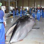 La industria ballenera de Japón reanuda en julio la caza de ballenas