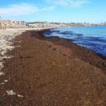 La alga asiática está calificada como especie invasora tras muchos años de problemas a la pesca