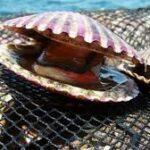 Perú amplía la temporada de pesca del camarón y autoriza extracción de conchas de abanico